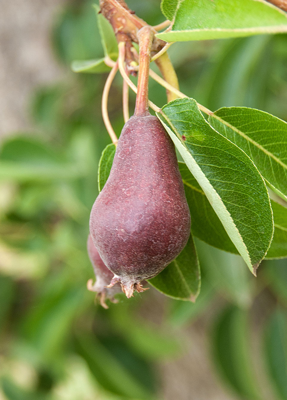 Picture of Delicious Orchards pear