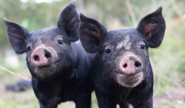 Zimmerman Pork Farm image