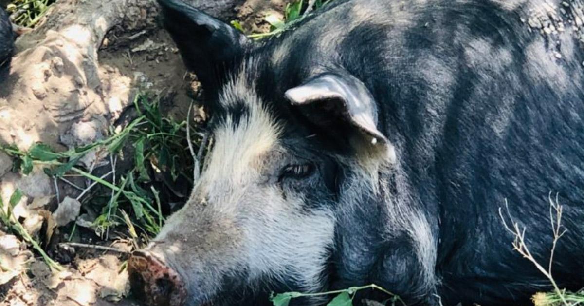 Modern Eater Colorado Pastured Pork image