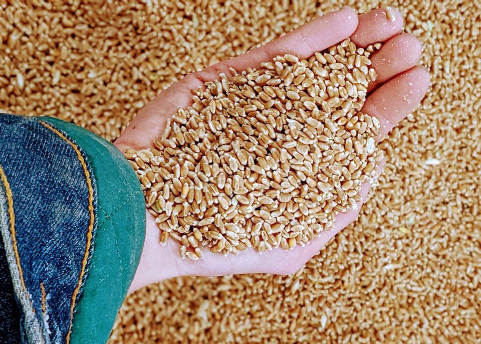 Immunity Farms Rouge de Bordeaux Wheat for Mountain Oven Bakery